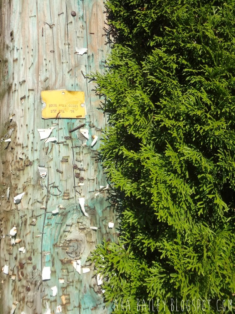 Telephone poll covered with staples beside a green hedge