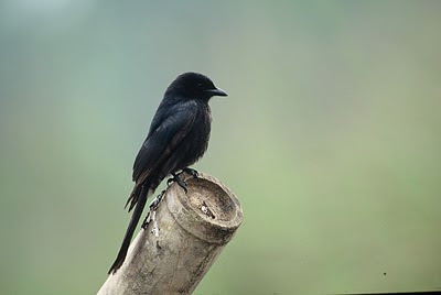 indian animals of black drongo birds habitat