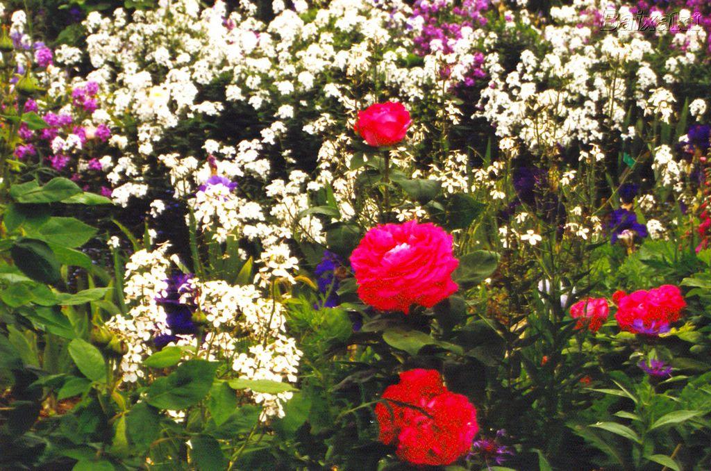 tipos de rosas para jardim:Ideias para o Jardim: Flores para jardim