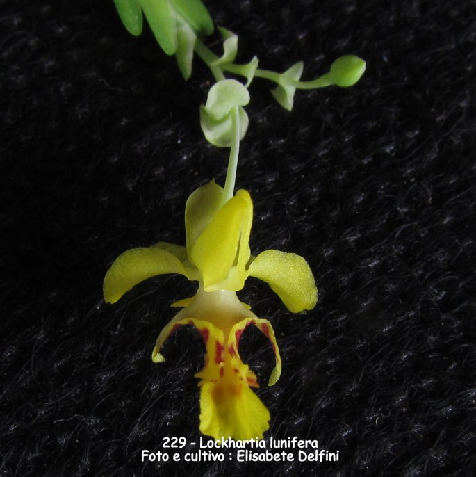 Flores Brasileiras Nomes E Imagens - Fotos de Orquídeas Raras Com nomes Flores Orquídeas