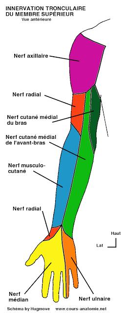anatomie :Nerfs axillaire, cutané médial du bras, cutané médial de l'avant-bras et innervation sensitive tronculaire du membre supérieur Sensitif+tronculaire+avant