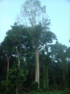 Pohon Bangris Lebih bermanfaat dibanding Koruptor