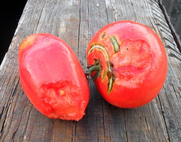 помидорки погрызены мышами