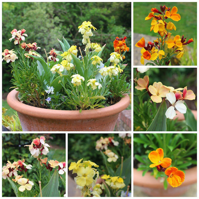 Collage of one of my garden pots of wallflowers
