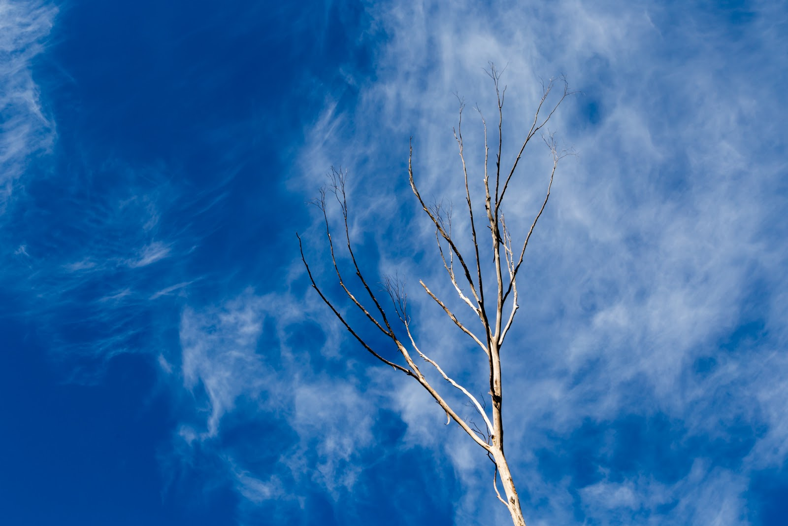 bare tree blue sky cirrus clouds