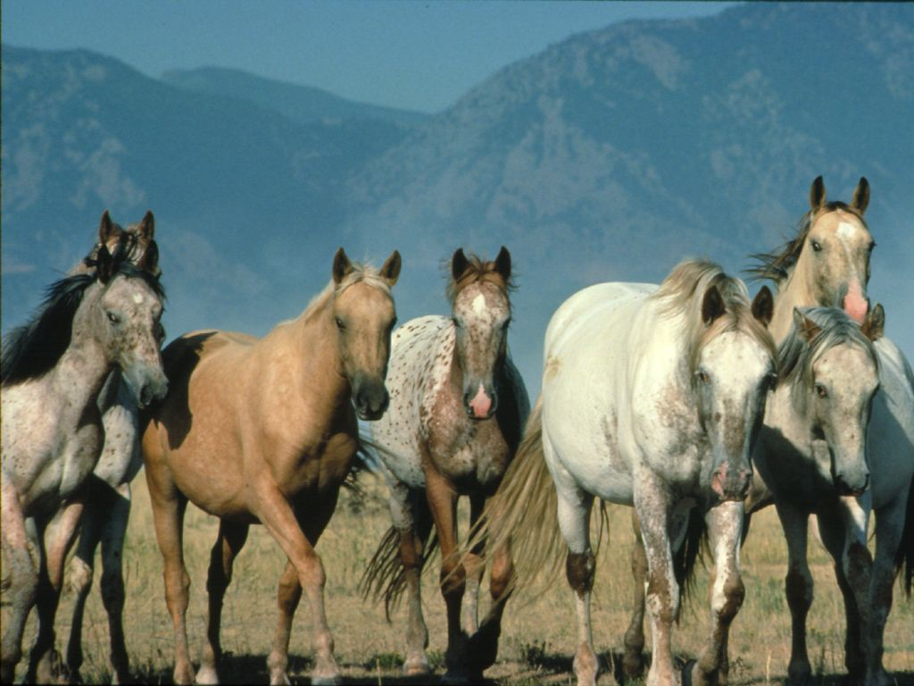 Hd Animals Wallpapers White Wild Horses Wallpapers