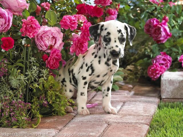 Sweet Dalmatian puppy.