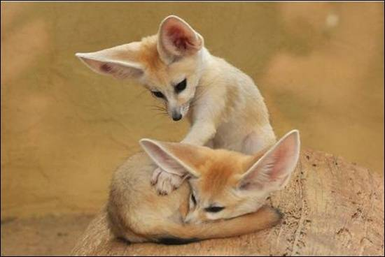 Fennec-Fox