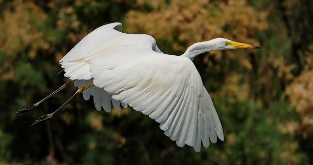 egreta mare albă