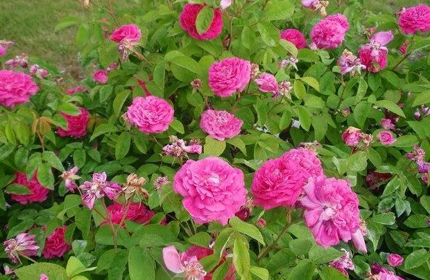 Arte y jardiner a rosales gallicas for Jardineria rosales