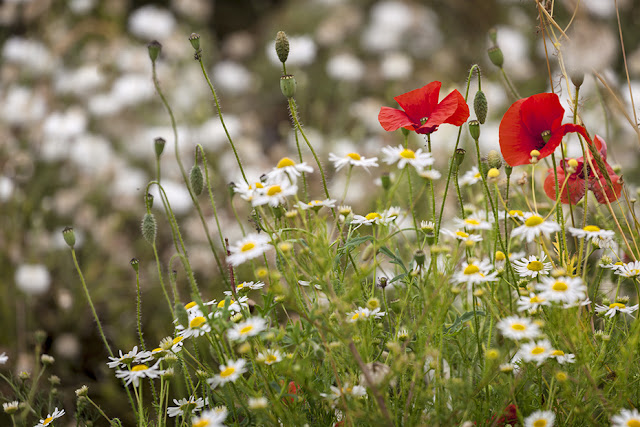 Poppies and daisies caught on camera by Martyn Ferry Photography