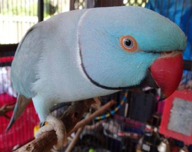 Blue Indian ParrotIndian Parrot Wallpaper