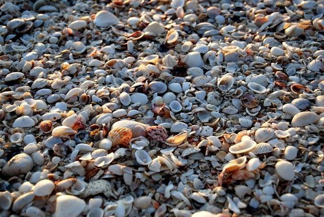 4 شواطئ صدفية مذهلة حول العالم Sanibel-shell-1%5B2%5D+%281%29