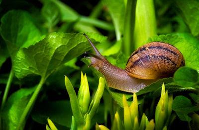 Caracol en las hojas verdes de mi jardín - Curious snail in my garden