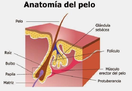 El rincón de la pecosa: EL PELO Y EL FOLÍCULO PILOSO