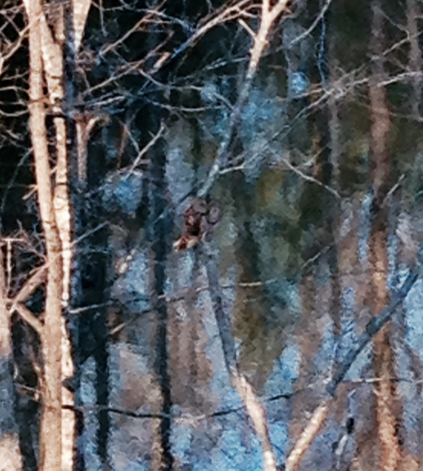 Barred Owl on Poplar Pond