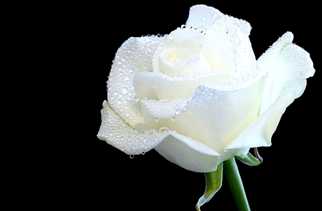 Picture Of Flowers White Rose   Flowers Ideas
