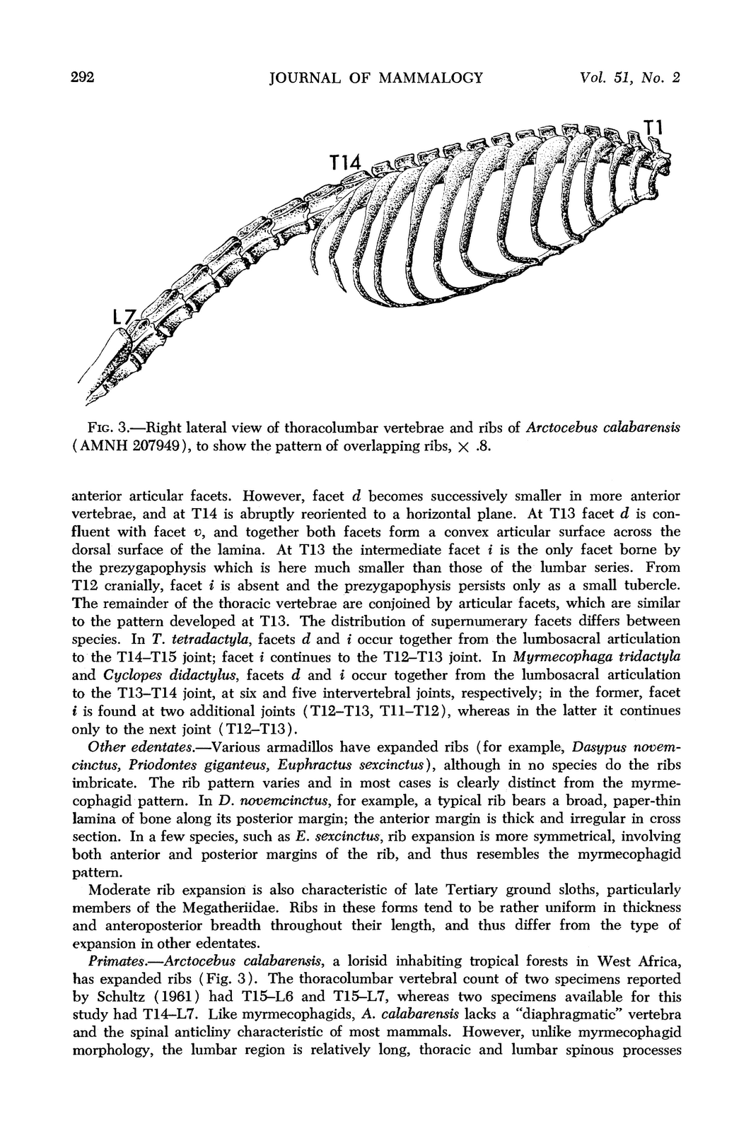 Anatomy of expanded Ribs | Tamandua Research