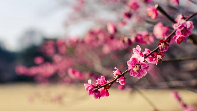 Japan park pink flowers plum HD Wallpapers
