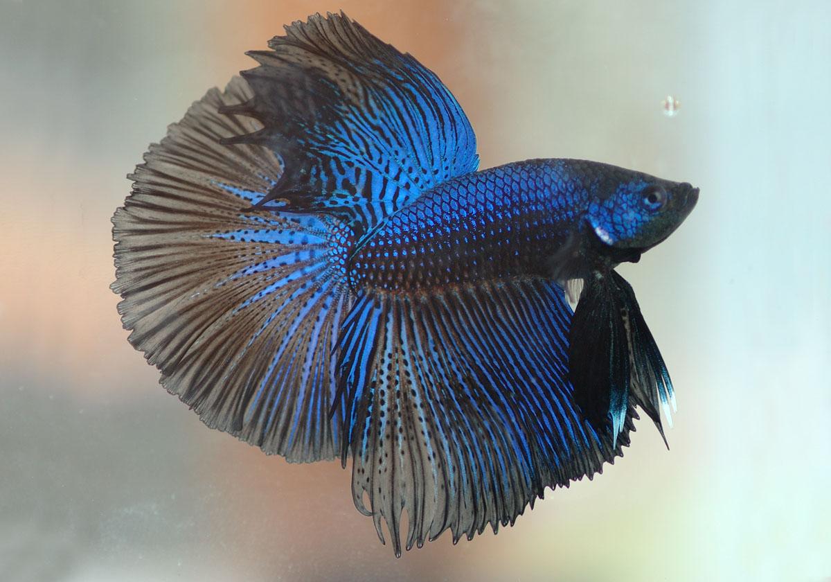 http://3.bp.blogspot.com/-hsxmqrl55Ko/T9CeVIMBGtI/AAAAAAAAA84/0EqnYiipPCQ/s1600/betta%2BFish%2BWallpapers2.jpg