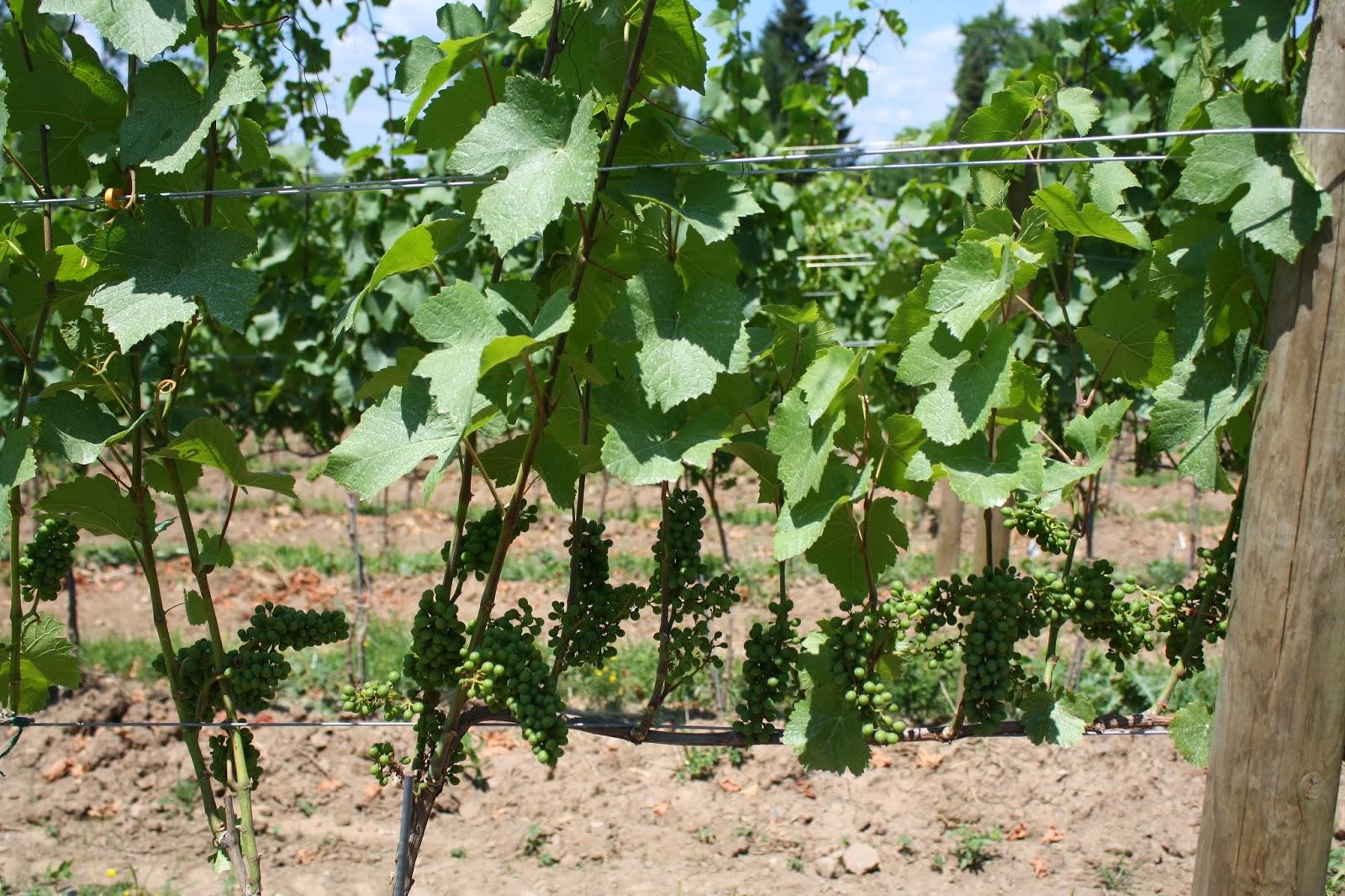 Italian Wine Varietals, New Wolrd Wine