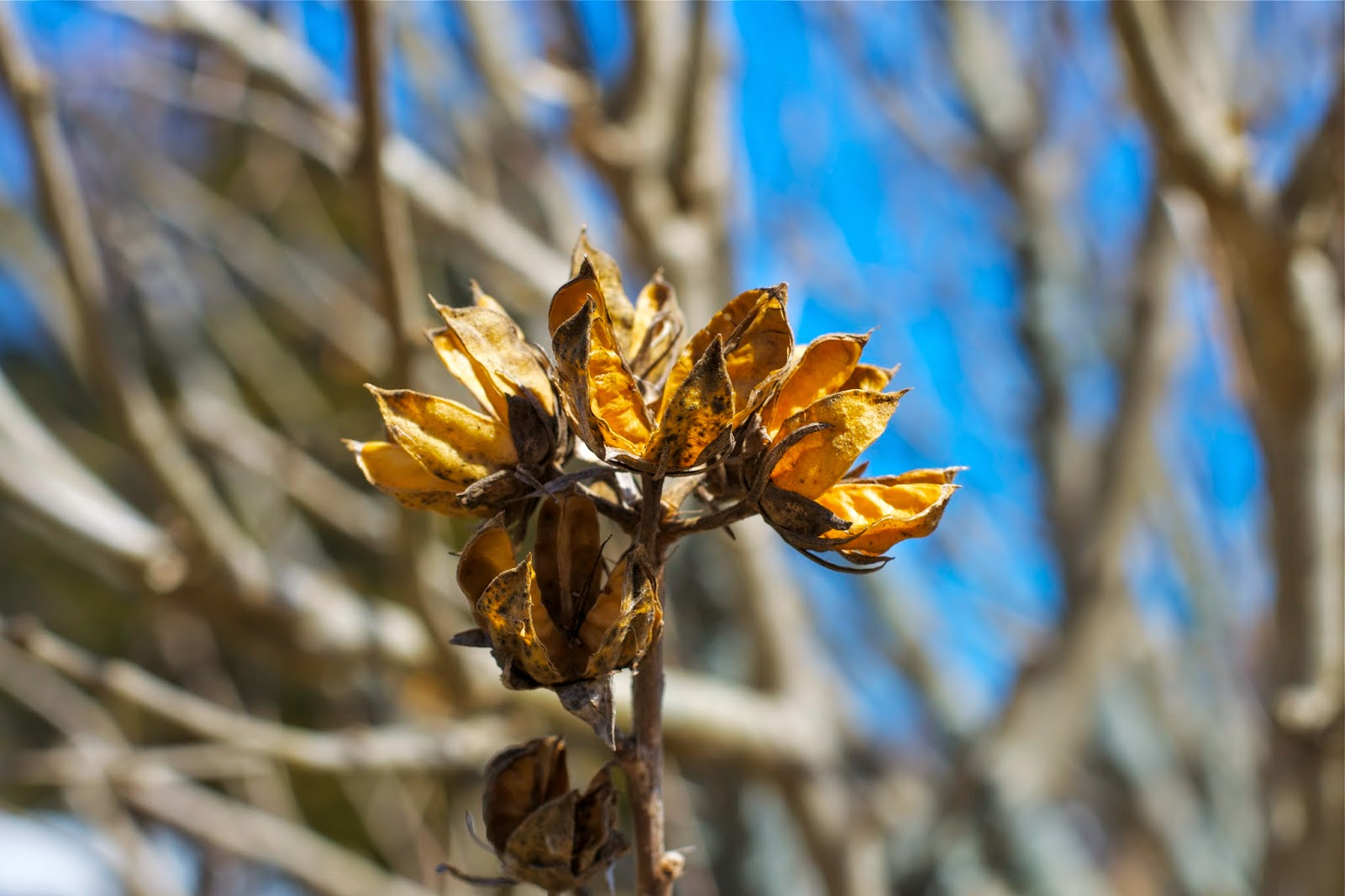 Seed pods, waiting for spring buds.