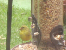 A Female Goldfich @ The Bird Feeder