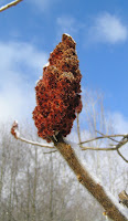 Staghorn Sumac&#39;s destinctive seed head