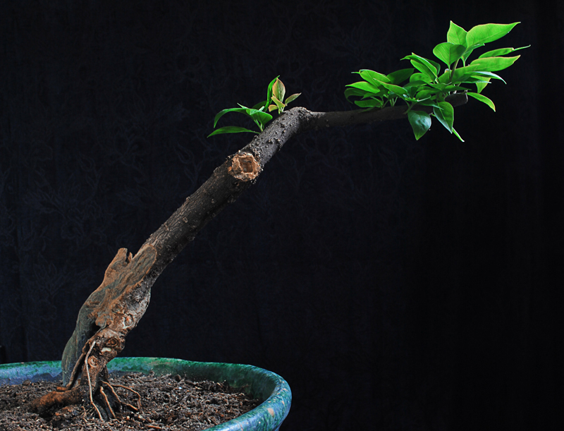 how to grow a bonsai tree