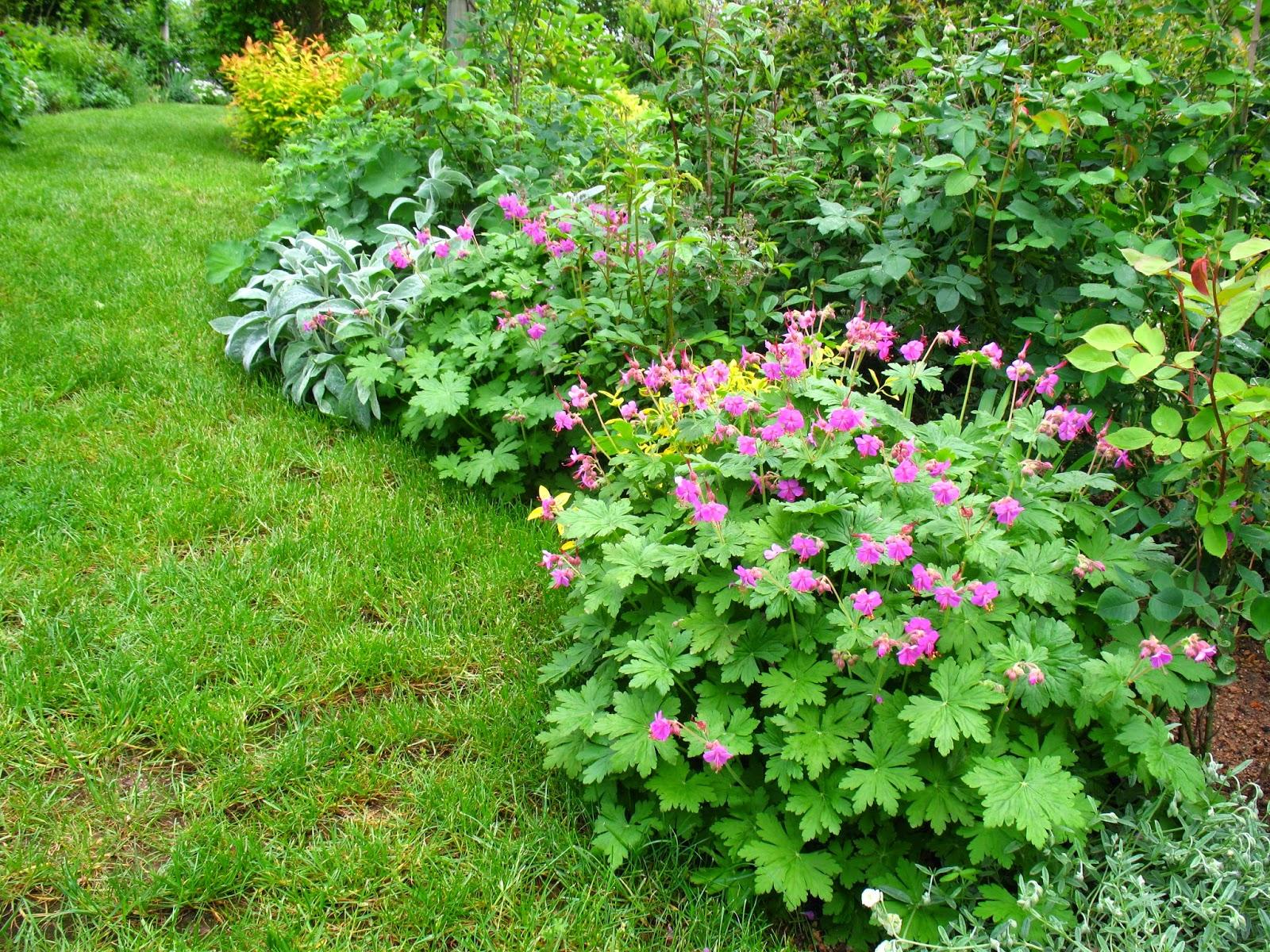 Roses du jardin ch neland division des g raniums vivaces - Geranium feuilles qui jaunissent ...