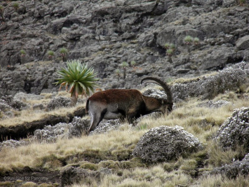 Walia Ibex in the Simien Mountains National Park