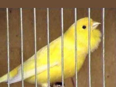 Gambar Burung Kenari Roller