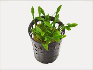 gambar-Cryptocoryne Parva-tanaman-aquascape-rosette-