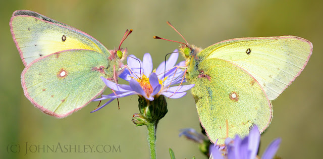 Clouded Sulphur butterflies (c) John Ashley