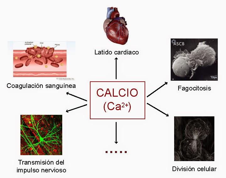 El calcio es fundamental para procesos fisiológicos como el latido del corazón, la coagulación sanguínea, la fagocitosis, la transmisión del impulso nervioso y la división celular