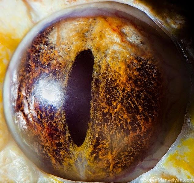 ojo de piton albina