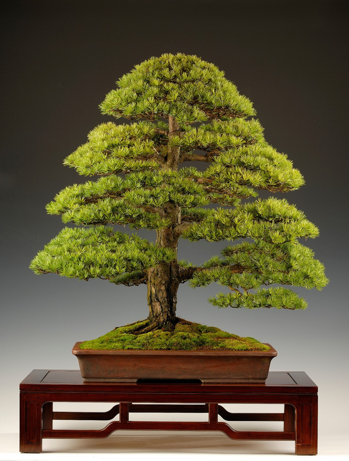 Steve Tolley39s Bonsai And Suiseki Blog January 2013