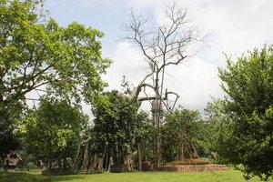 Tân Trào banyan-tree (Cây đa Tân Trào)