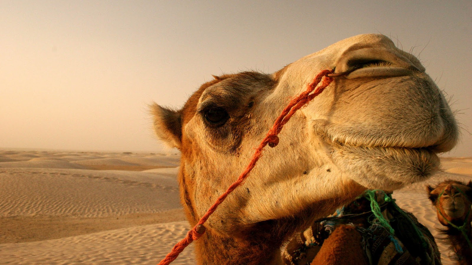 hd-camel-wallpaper-with-a-camel-in-the-desert-hd-camels-backgrounds ...