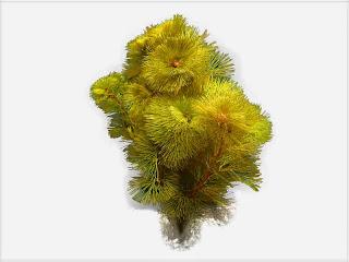 gambar-Cabomba Kuning-Tanaman-Stem-Aquascape
