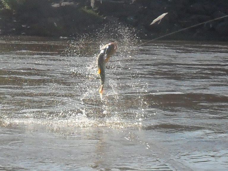 Golden Dorado of Salto Grande, Uruguay River