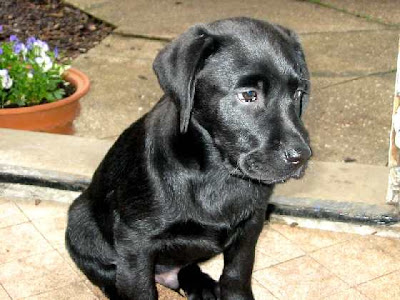 Labrador Puppy Pictures