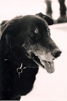 Jack the dog is a 13 year old male lab mix that recently recovered from skin burns.