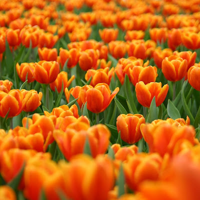 Orange tulips download free wallpapers for Apple iPad