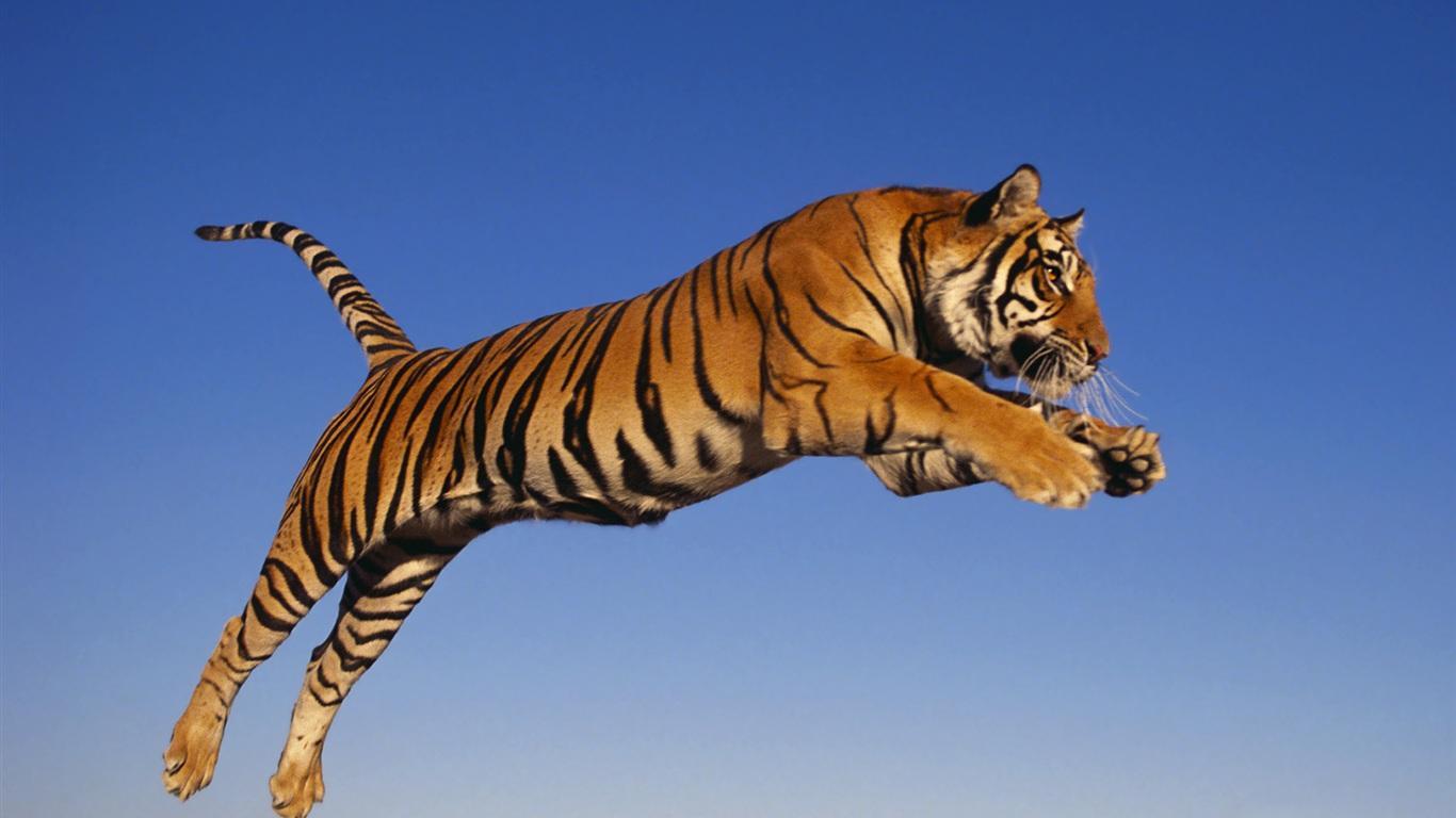 http://3.bp.blogspot.com/-hwaVltNzrDY/T-g2AgrExCI/AAAAAAAABlM/YJ2LCNYeTaE/s1600/nature+wallpaper-tiger+(1).jpg