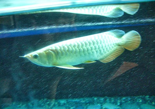 Asian Arowana Fish - Scleropages Formosus TROPICAL FISH