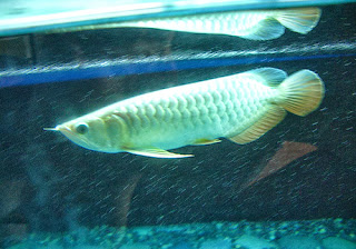 Asian Arowana Fish - Scleropages Formosus