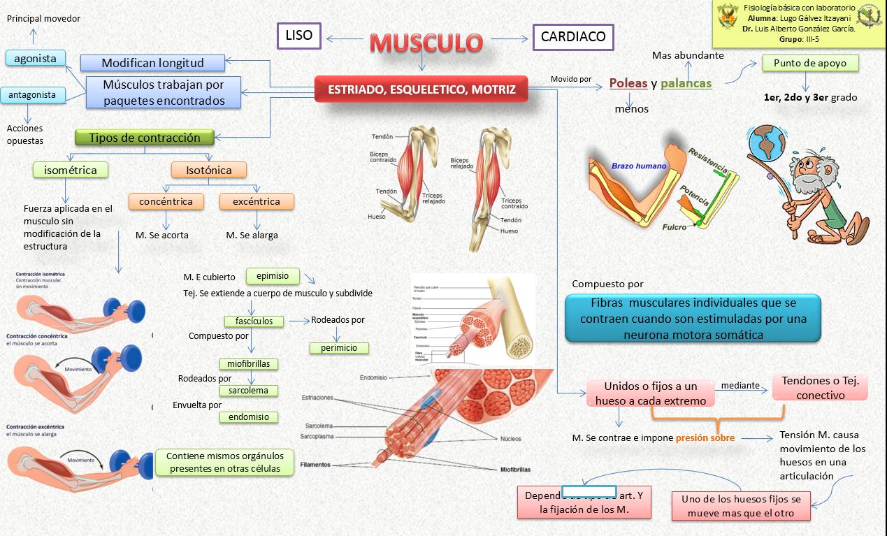 itzayani-fisiologiabasica: Músculo Esquelético
