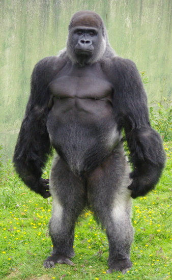 Gorilla standing up - photo#3