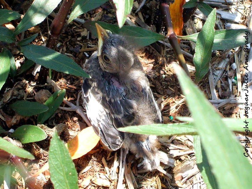 Baby Mockingbird Hiding in Mexican Petunia